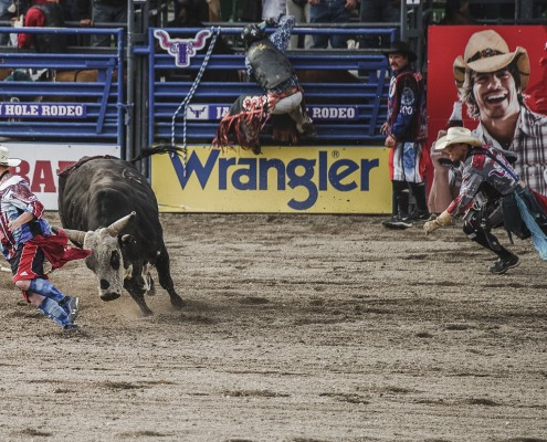 Jackson Hole Rodeo Bull Chasing a man