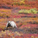 Grizzly Bear Walks North of Jackson Lake